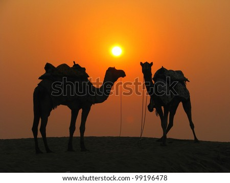 Camels in the desert at sunset, Sam Sand Dunes near Jaisalmer, India - stock photo
