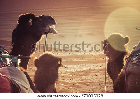 camels in the desert during a rest. Sunrise light, sun flare. - stock photo