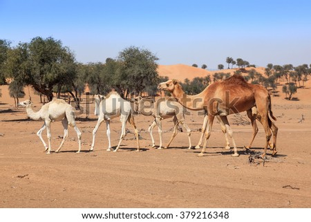 Camels in the desert in the morning sun of UAE. - stock photo