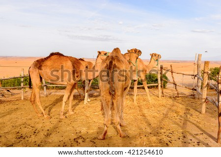 Camels in the desert of Morocco