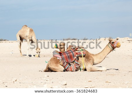 Camels in the desert of Qatar, Middle East