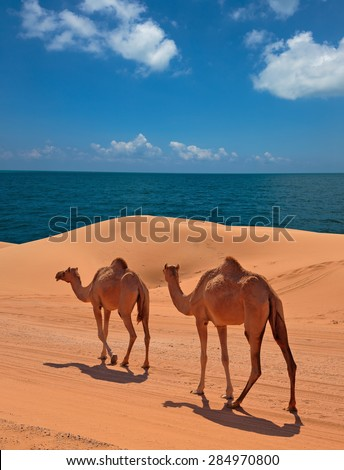 Camels in the desert, red sands of Dubai - stock photo