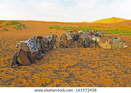 Camels in the Erg Chebbi desert in Morocco Africa - stock photo