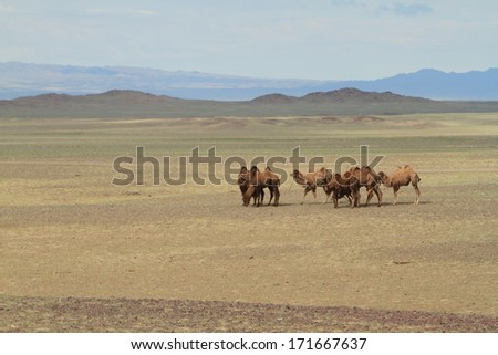 Camels in the mongolian desert