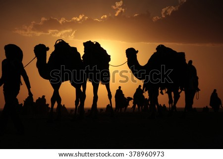 camels in the sahara desert in the evening