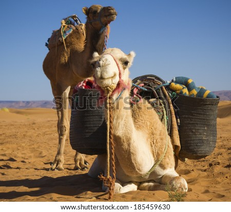 Camels in the Sahara Desert, Morocco - stock photo