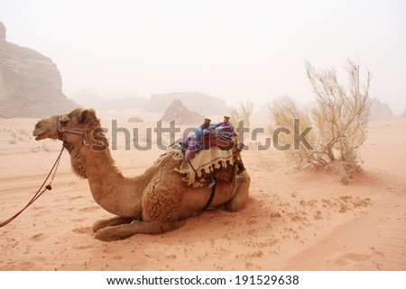 Camels in the sandy desert - Wadi Rum, Jordan - stock photo