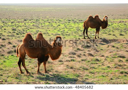 camels in the steppes of Kazakhstan