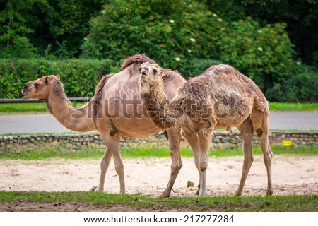 Camels in the zoo - stock photo