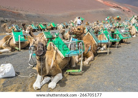 Camels in Timanfaya National Park waiting for tourists, Lanzarote (Canary Islands)