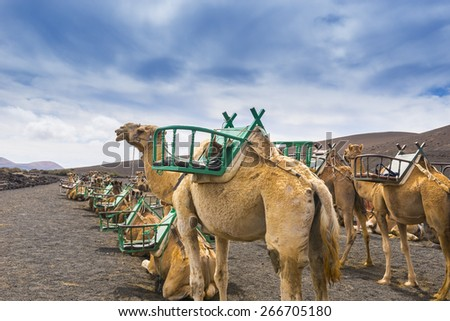Camels in Timanfaya National Park waiting for tourists, Lanzarote (Canary Islands) - stock photo