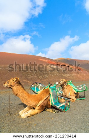 Camels in Timanfaya National Park waiting for tourists, Lanzarote, Canary Islands, Spain - stock photo