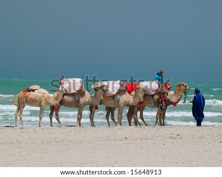 Camels in Tunisia;