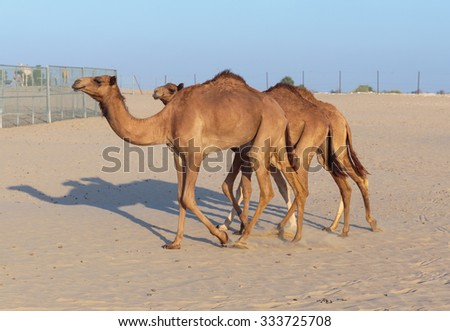 Camels on a farm in the desert of Dubai - stock photo