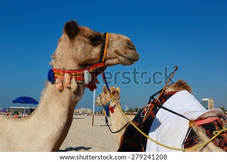 Camels on the beach in Dubai Marina UAE - stock photo