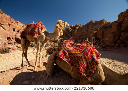Camels resting in the archaeological site of Petra, Jordan. - stock photo