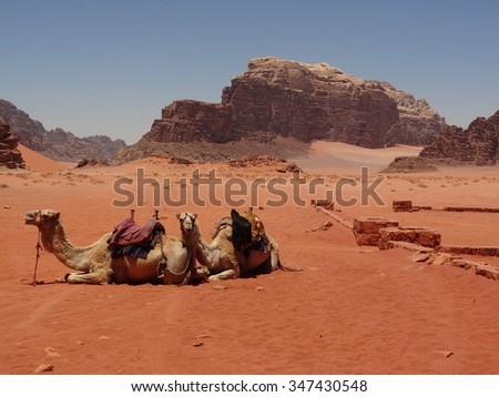 Camels resting in Wadi Rum desert, Jordan - stock photo