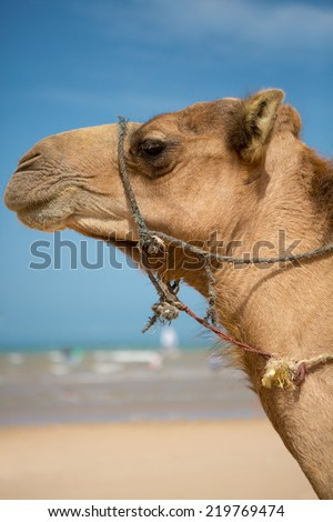 Camels resting under the sun near Essaouira on the beach of Sidi Kaouki, Morocco - stock photo