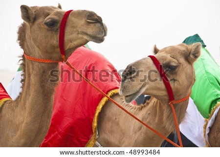 Camels strike a pose at a camel festival held in the emirates - stock photo