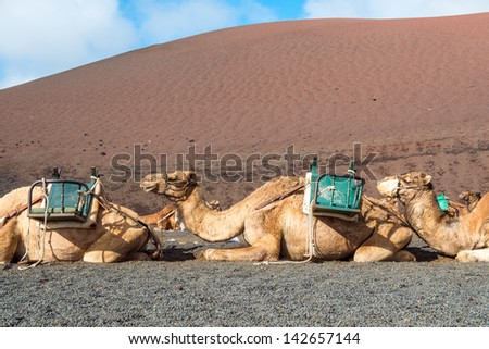 Camels waiting for the tourist