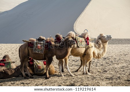 Camels waiting for the visitors beside the sand dunes