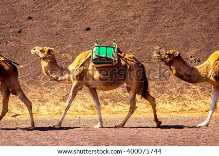 Camels walking on volcanic landscape in Tmanfaya national park on Lanzarote island in Spain - stock photo