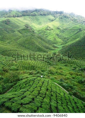 Cameron Highlands Tea Plantations - stock photo