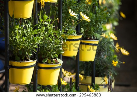 Cammomile flowers grow in round yellow flower pots - stock photo