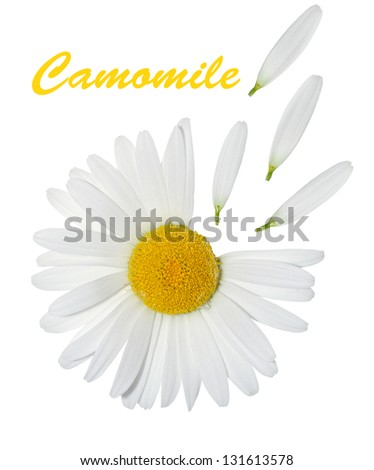 Camomile and petals on a white background - stock photo
