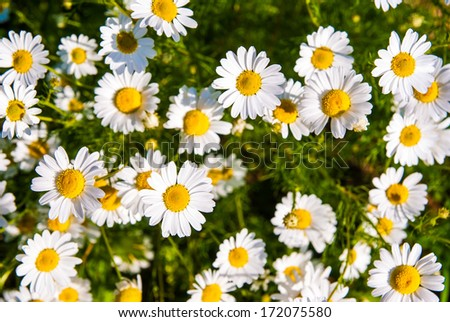camomile chamomile daisy white green meadow background - stock photo