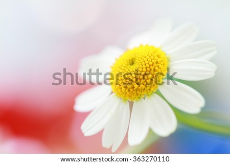 Camomile flower on colorful background - stock photo