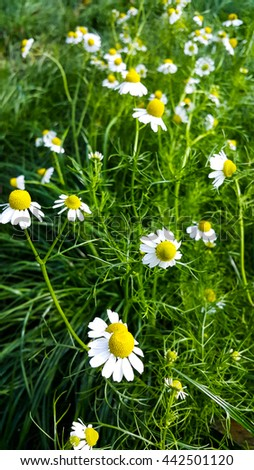 Camomile flowers blooming - stock photo
