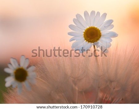 Camomile flowers on the field at sunrise