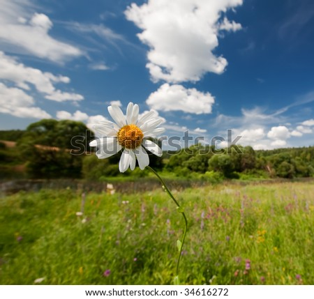 Camomile in the field - stock photo