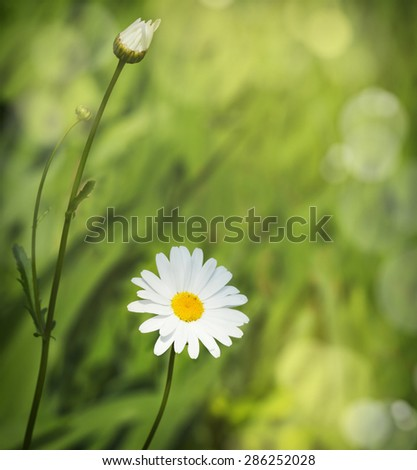 Camomile on blurred garden background - stock photo
