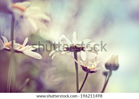 Camomile on meadow, with abstract blurred background, closeup shot, shallow focus, toned photo - stock photo
