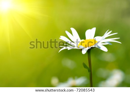 Camomile on the field with green grass - stock photo