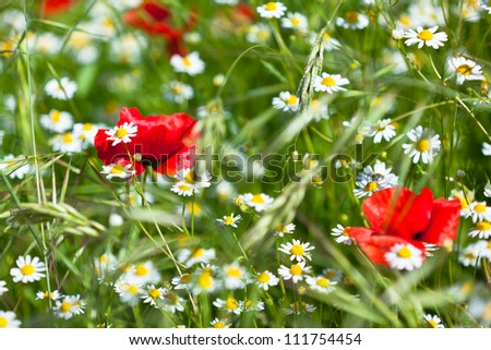 Camomiles and poppies meadow in sunny day. Small GRIP - stock photo