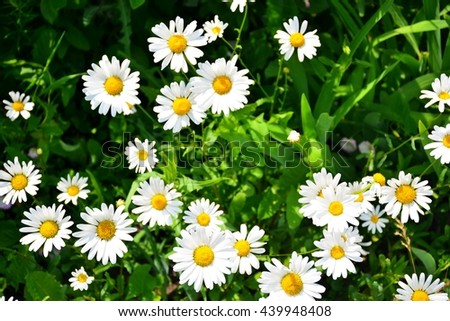 Camomiles in green grass - stock photo