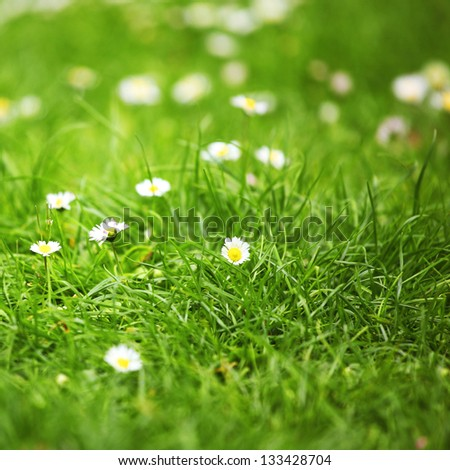 camomiles in green grass close up - stock photo