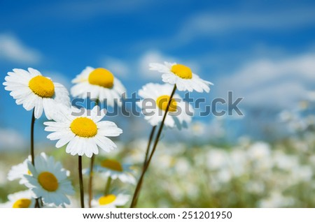 Camomiles on a meadow in rain drops - stock photo