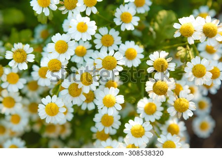 Camomiles on summer field closeup as background - stock photo