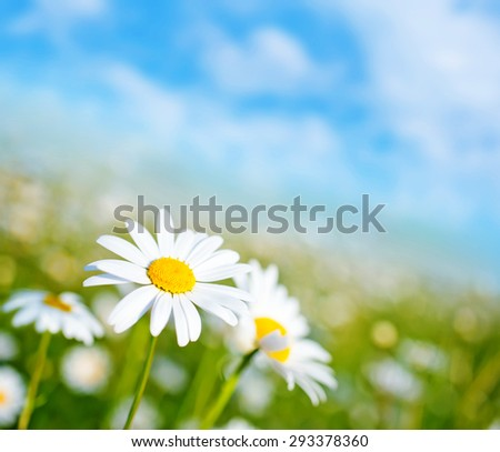 camomille - stock photo