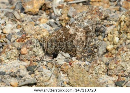 Camouflaged Grayling Butterfly (Hipparchia semele) on an English heath - stock photo