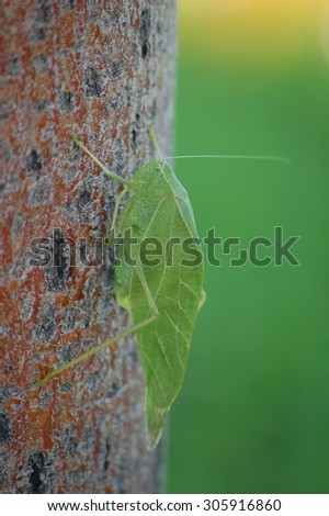 Camouflaged Leaf Grasshopper - stock photo