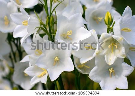 Campanula bell-fowers - stock photo