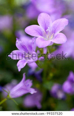 campanula close up - stock photo