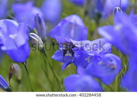 Campanula Cochlearifolia Lam. (Fairies' thimbles) in the Mountains