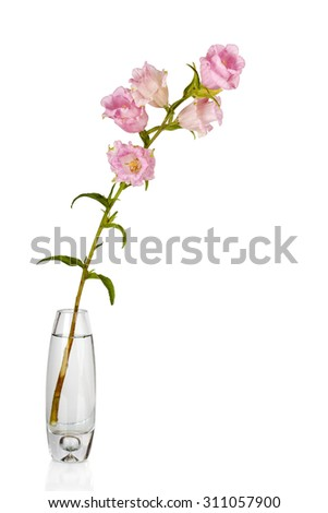 Campanula Flowers. Beautiful  hand-bell in vase - stock photo