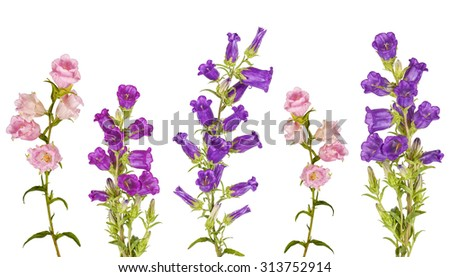Campanula Flowers. Beautiful  hand-bell isolated on background - stock photo